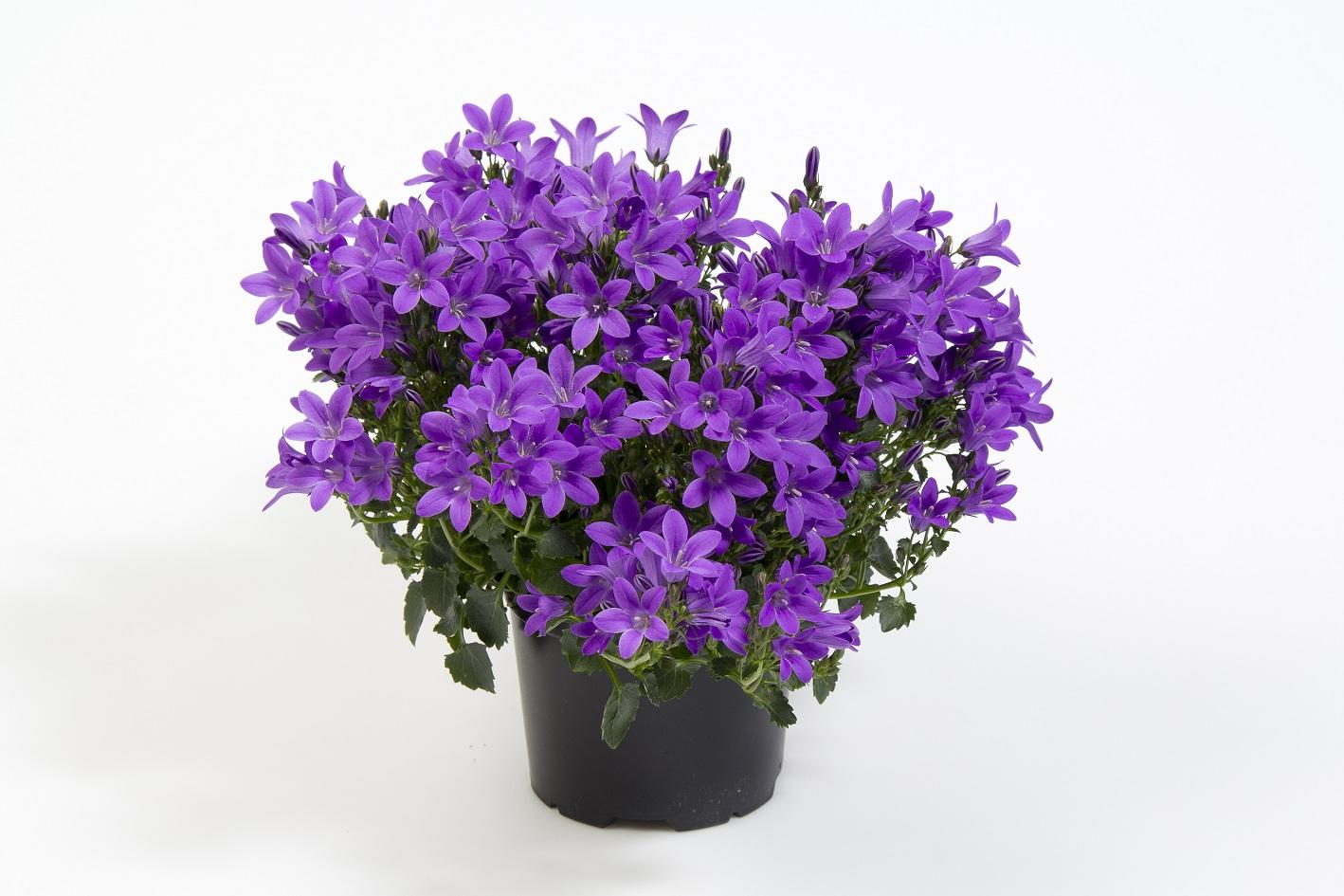 Campanula-portenschlagiana-blueOne1